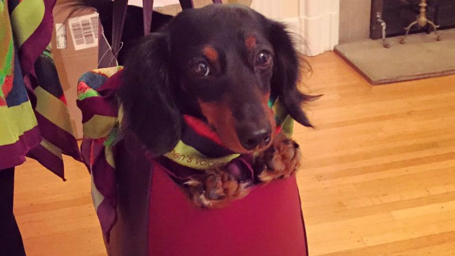Isabella, an adorable Dachshund belonging to model Joanne, riding in style in our Earhart Tote